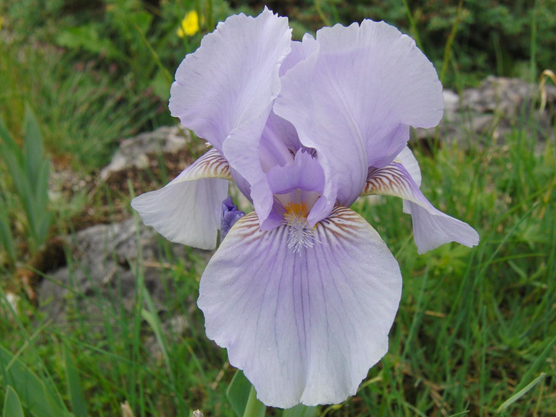 Schwertlilie lili