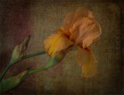 Schwertlilien (Iridaceae)
