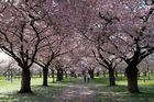 Schwetzinger Kirschblütenzeit