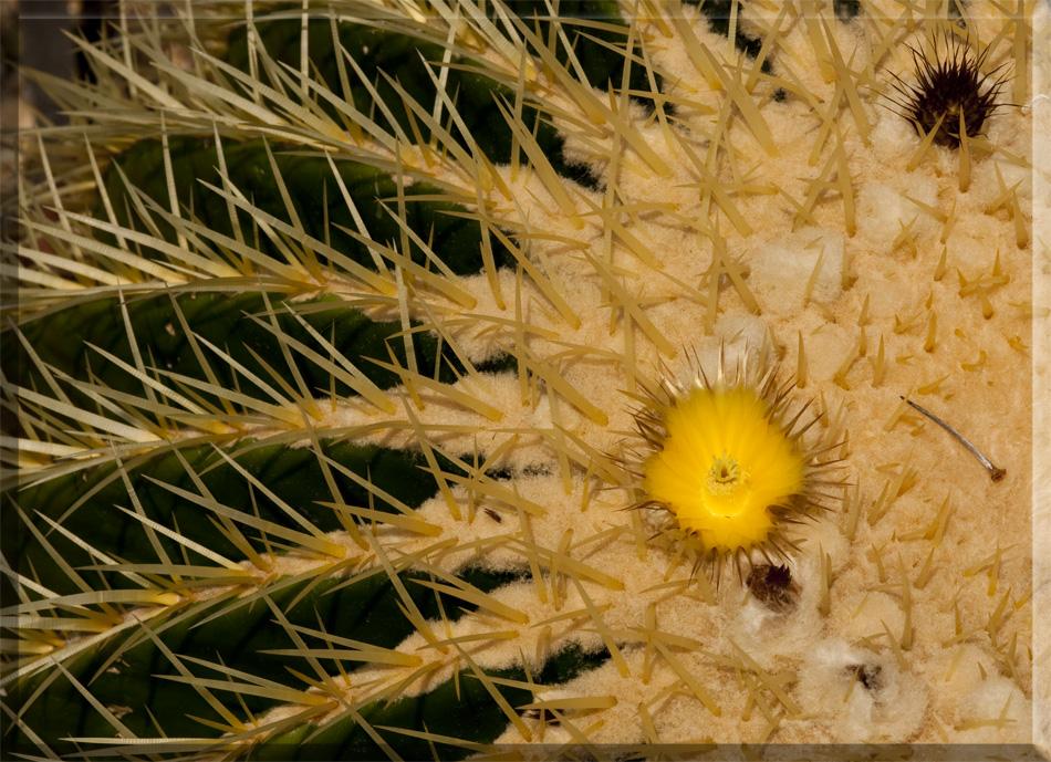 Schwiegermuttersitz mit Blüte