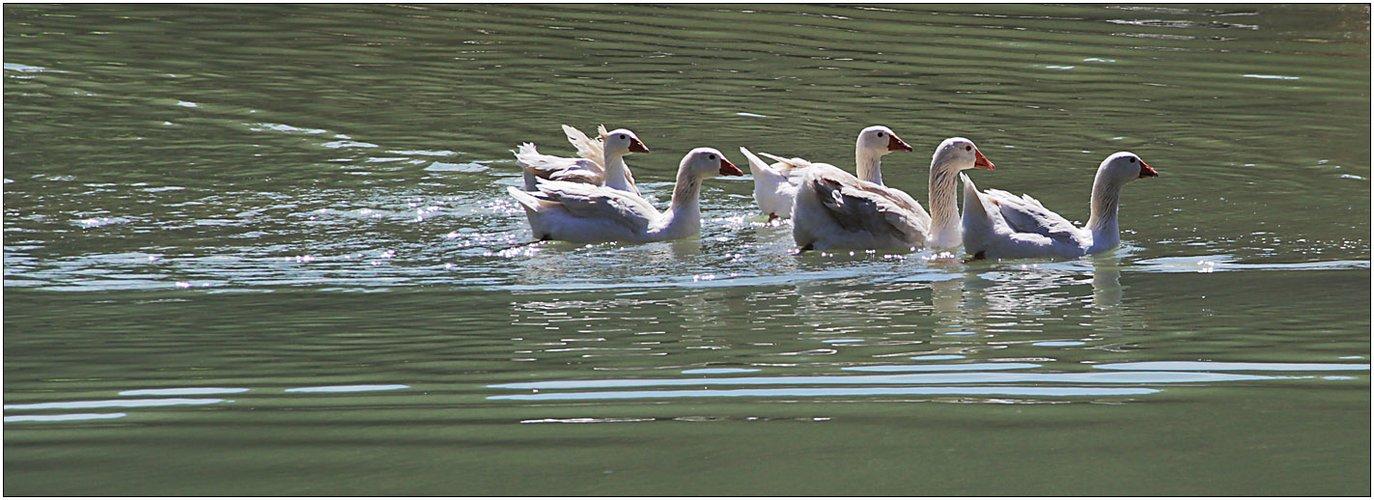 Schwimmen im Gänsemarsch