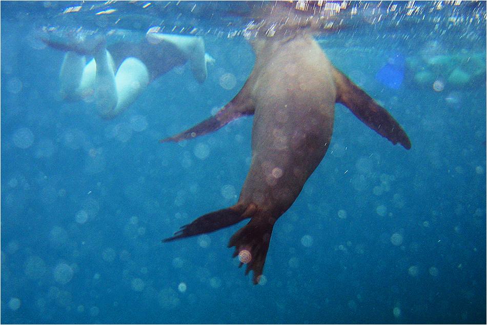 Schwimmen mit Galapagos-Seelöwen