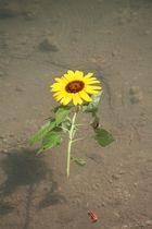 Schwimmende Sonnenblume
