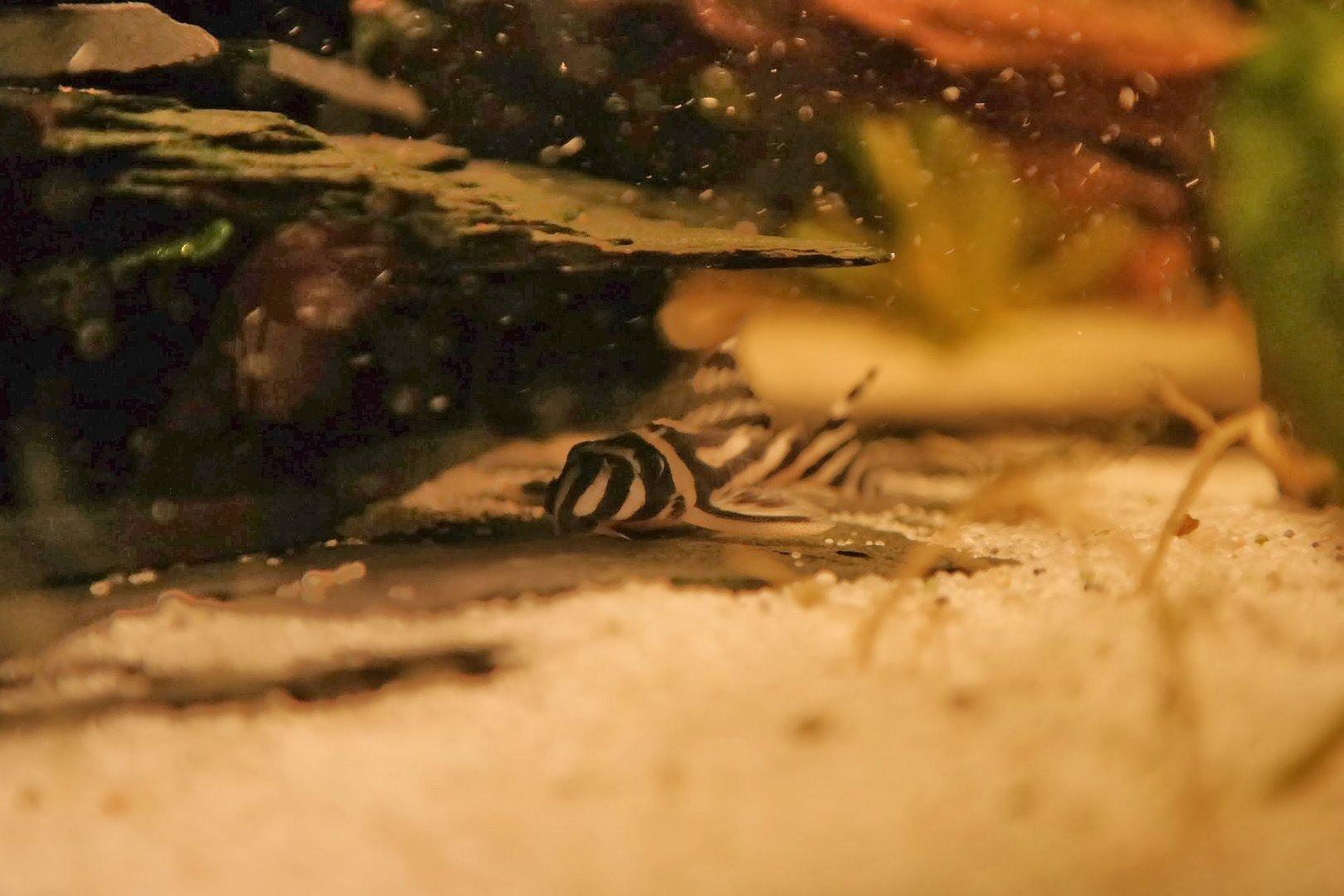schwimmende Tiger