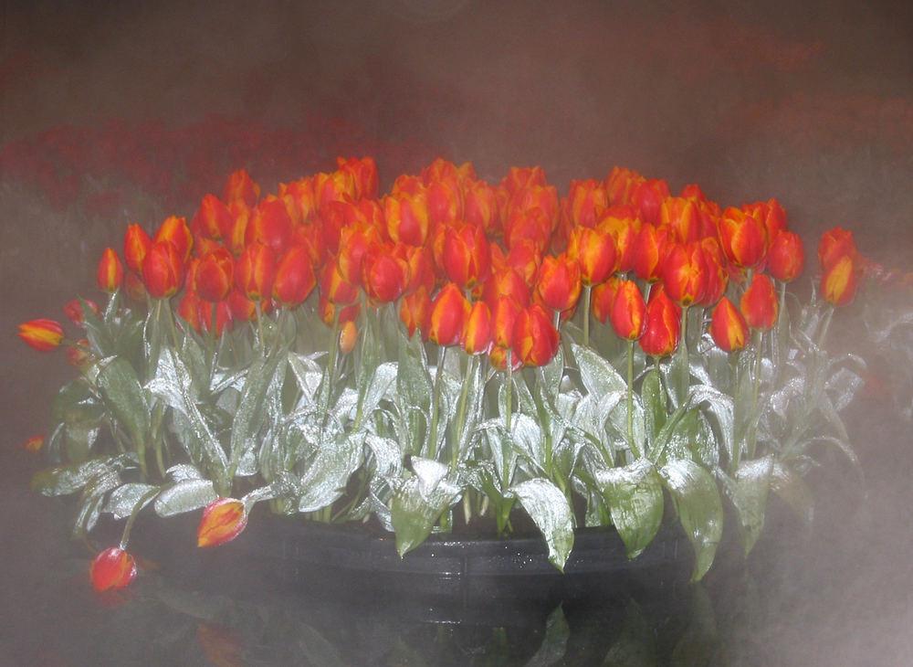 Schwimmende Tulpen