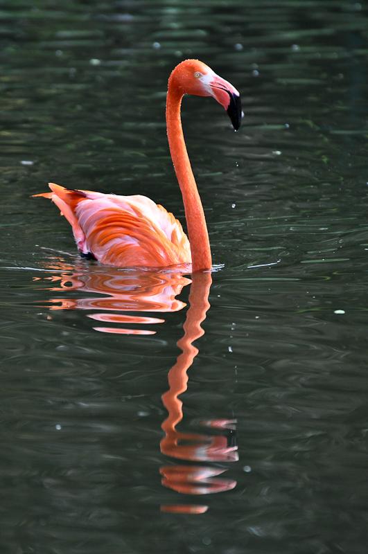 schwimmender Flamingo