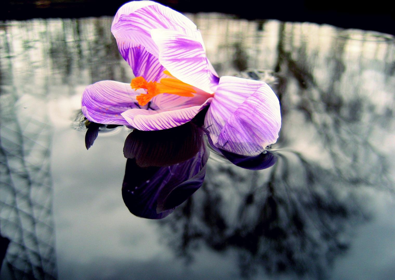 Schwimmender Krokus im März
