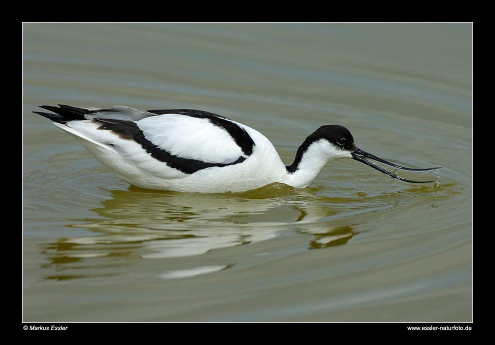 Schwimmender Säbelschnäbler • Insel Texel, Nord-Holland, Niederlande (21-21373)
