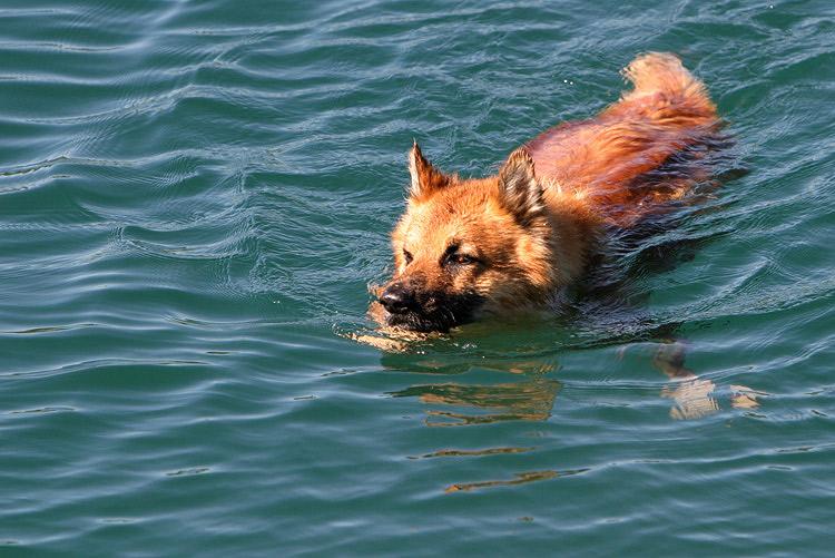 Schwimmfuchs