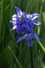 Scilla bifolia, Zweiblättriger Blaustern, Alpine Squill