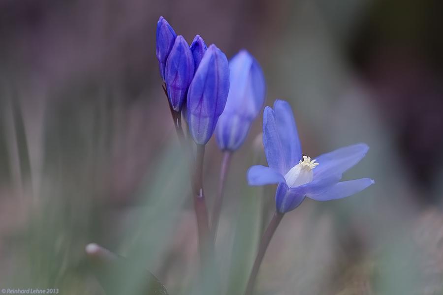 Scilla- Blau