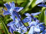 Scilla-Blütenfest