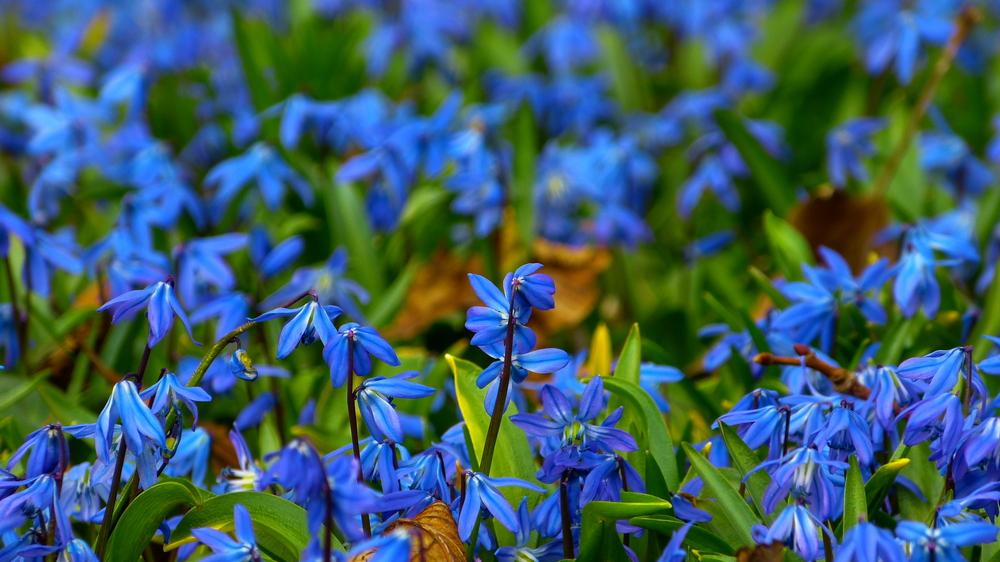Scilla-Blütenfest auf dem Lindener Berg bei Hannover