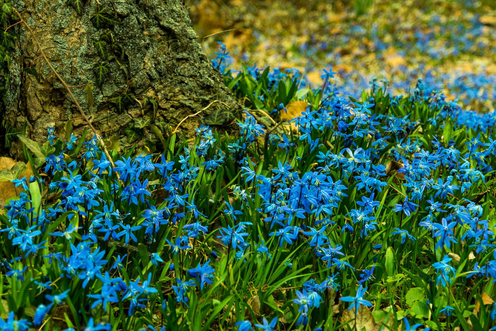 Scilla-Blütenfest IV - Lindener Berg/Hannover