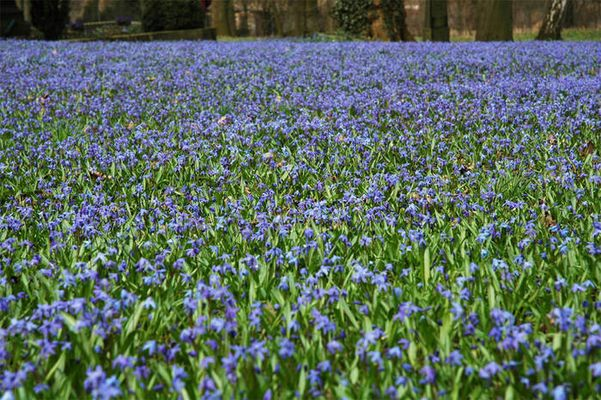 Scilla-Blütenteppich