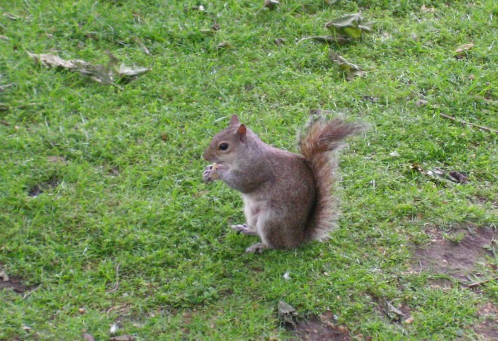 Scoiattolo a Hide Park (Londra)