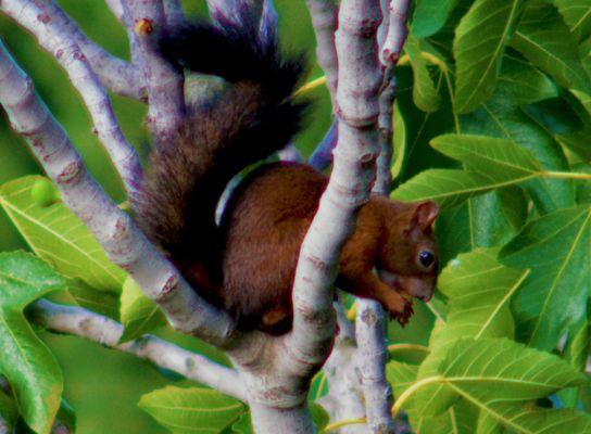 scoiattolo che mangia fico