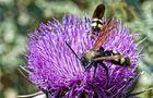 Scolidae Wasp auf Distelblüte