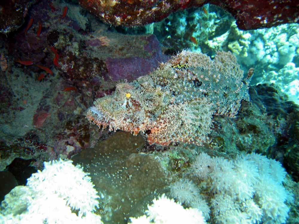 Scopionsfisch