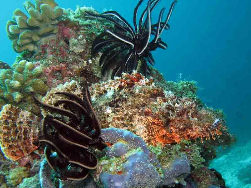 scorpion fish 1