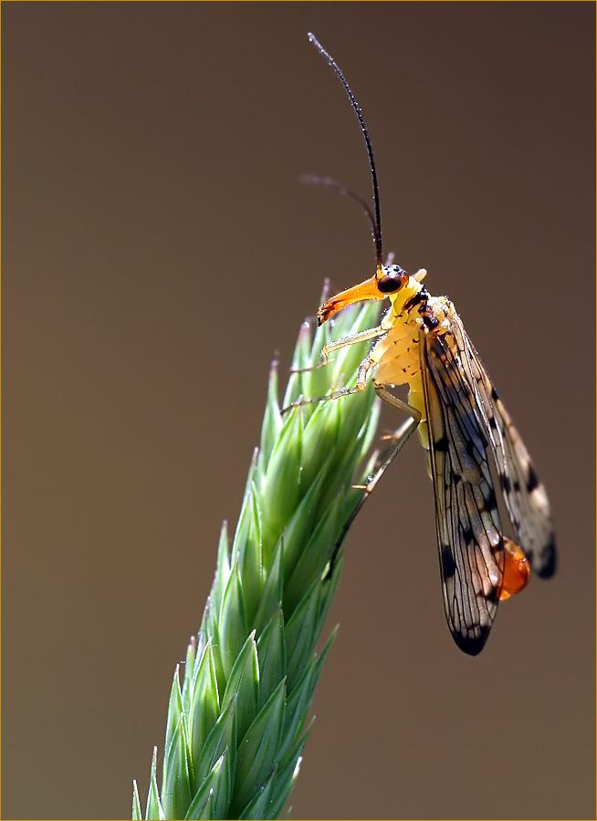 Scorpionfliege