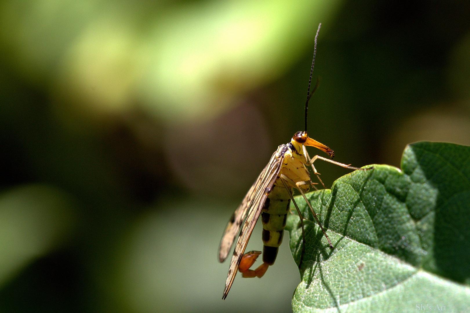 Scorpionsfliege