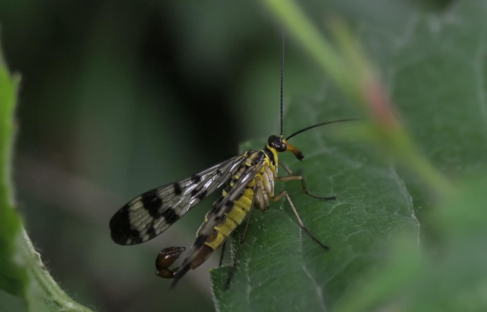 Scorpionsfliege männlich