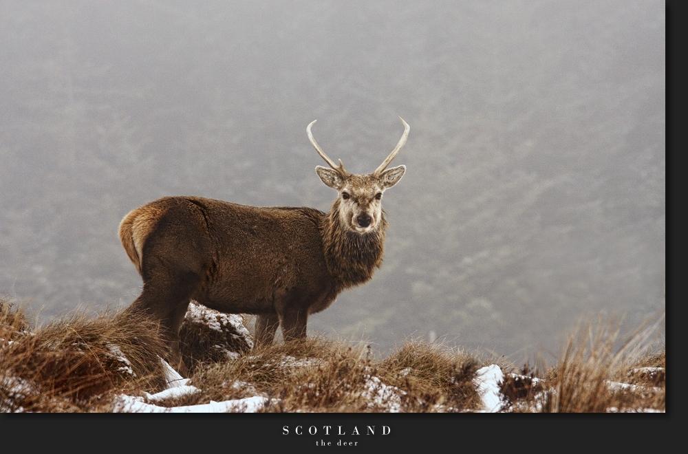 Scotland IX - the deer