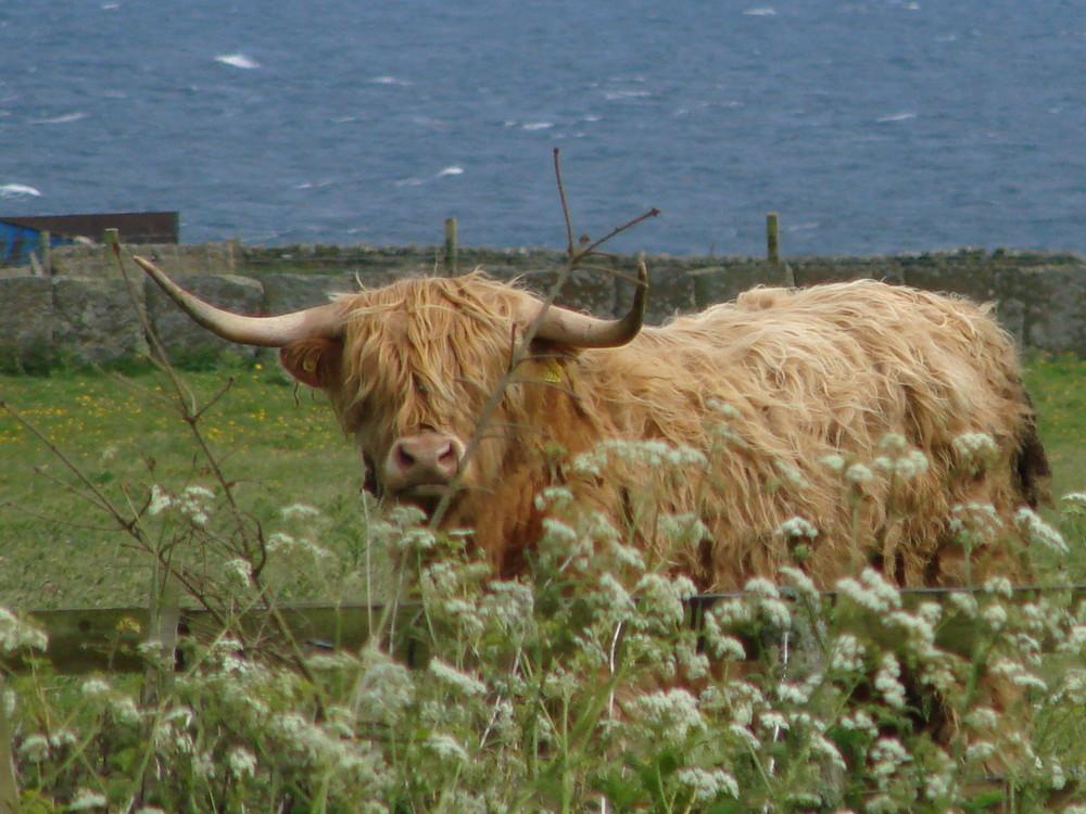 "Scottish Highland Cow AKA ""Wooly Cow"""