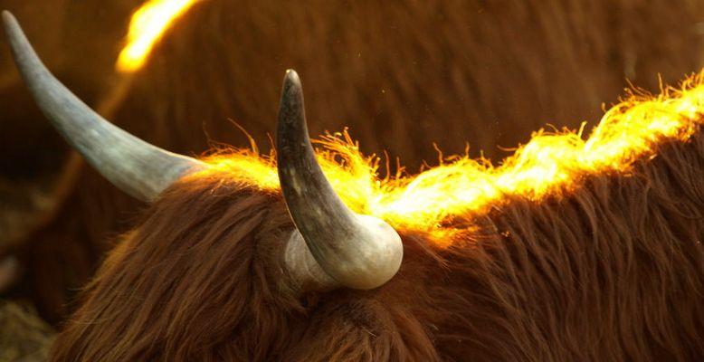 Scottish Highland Detailansicht