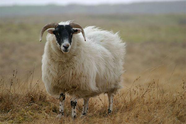 Scottish Highland Sheep