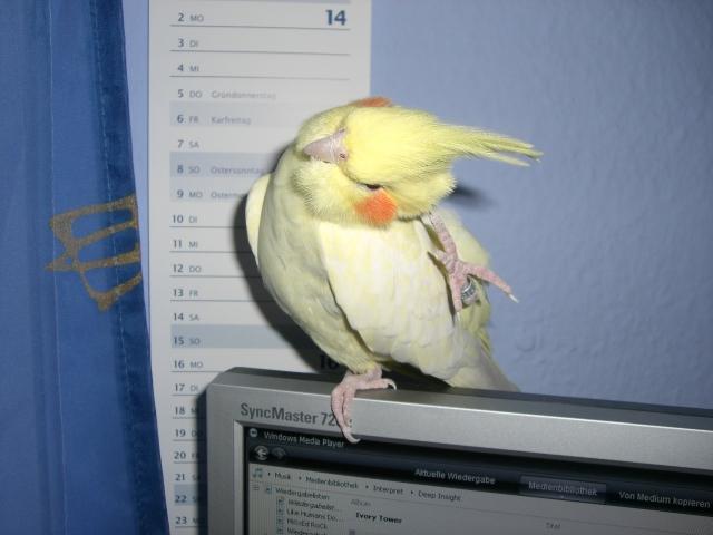 Scratching Cockatiel