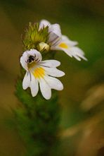 Scrofulariacea
