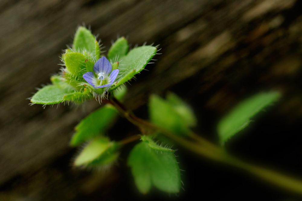 Scrofulariacea - Veronica