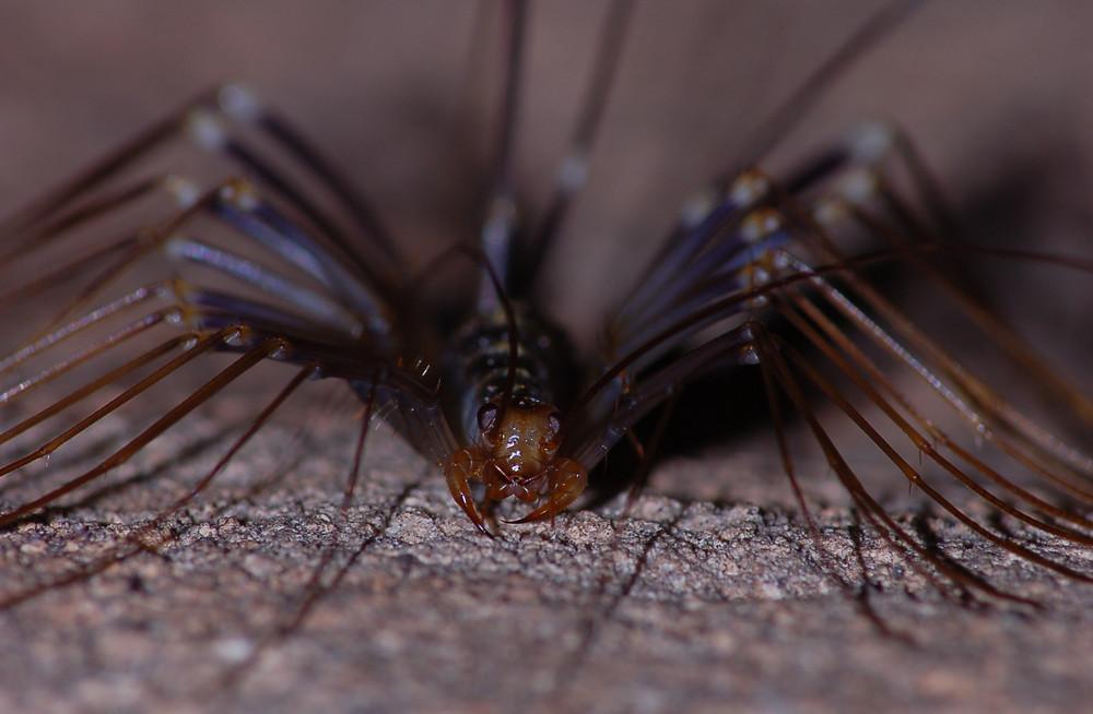 Scutigeromorpha (Spinnenläufer, verwandt mit Hunderfüßern)
