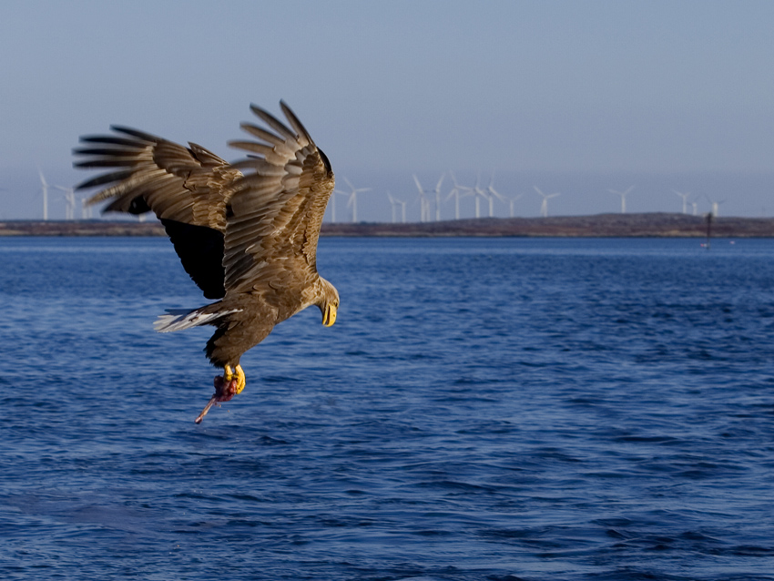 Sea-eagle in Norway