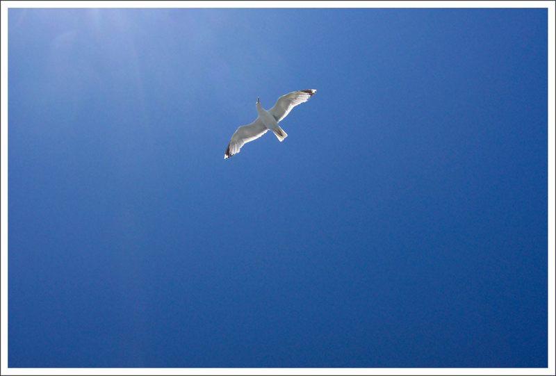 Sea Gull 5