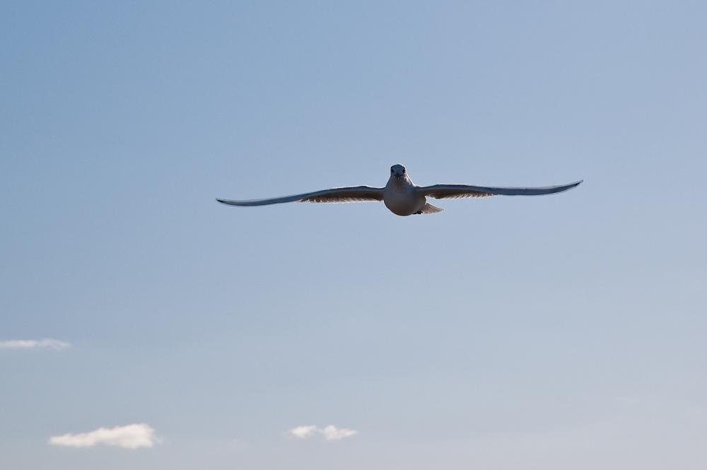sea gull air