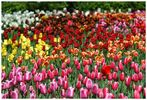 Sea of tulips - Das farbenfrohe Blumenmeer
