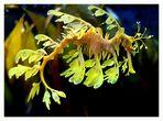 Seadragon (Phycodorus eques)