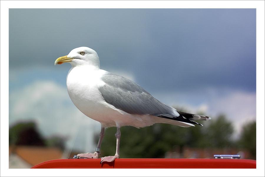 + Seagull +