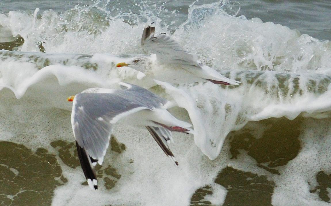 Seagull at Grenen/Skagen