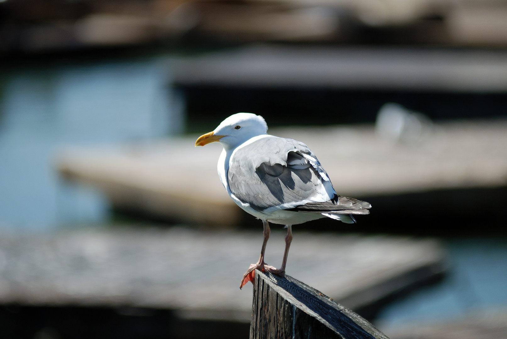 Seagull at pier 39