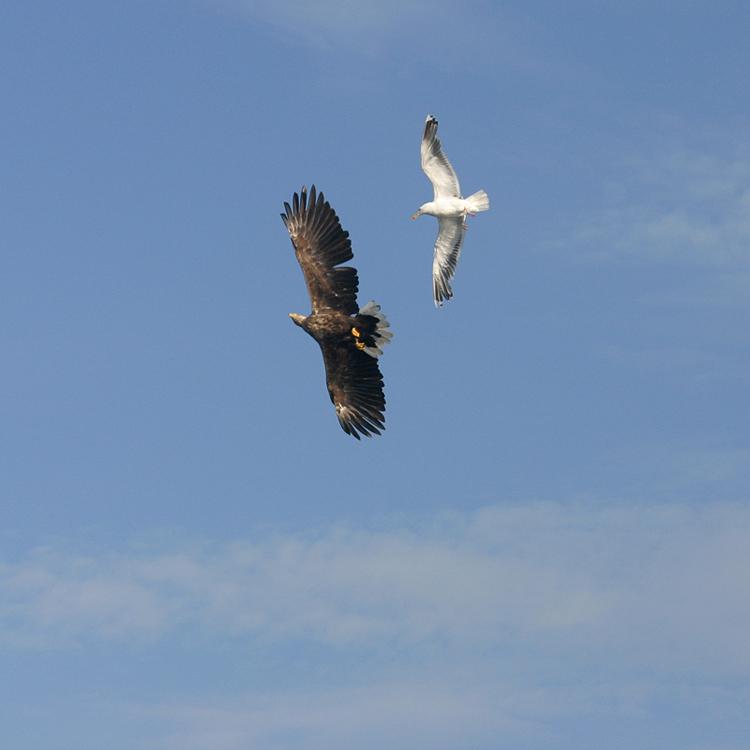Seagull chasing eagle