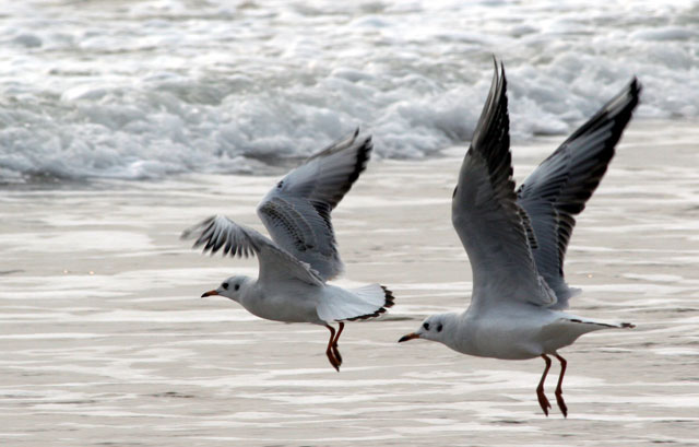 seagull en chine