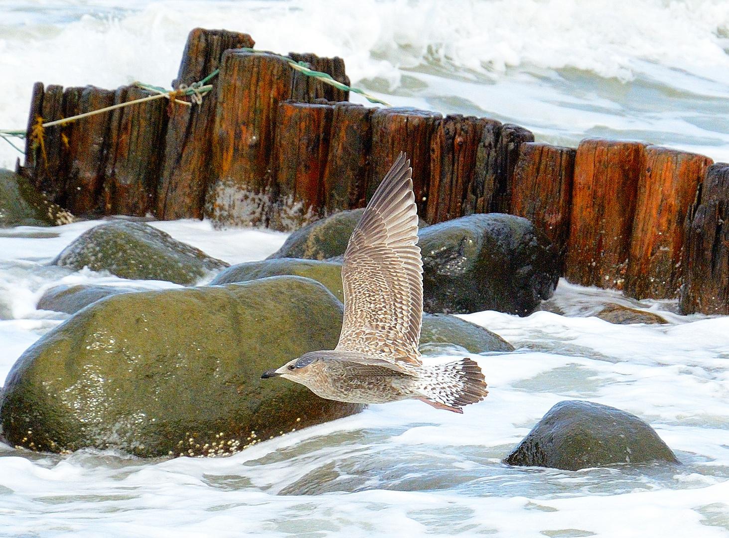 Seagull in Grenen/Skagen Denmark