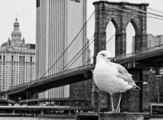 seagull in new york