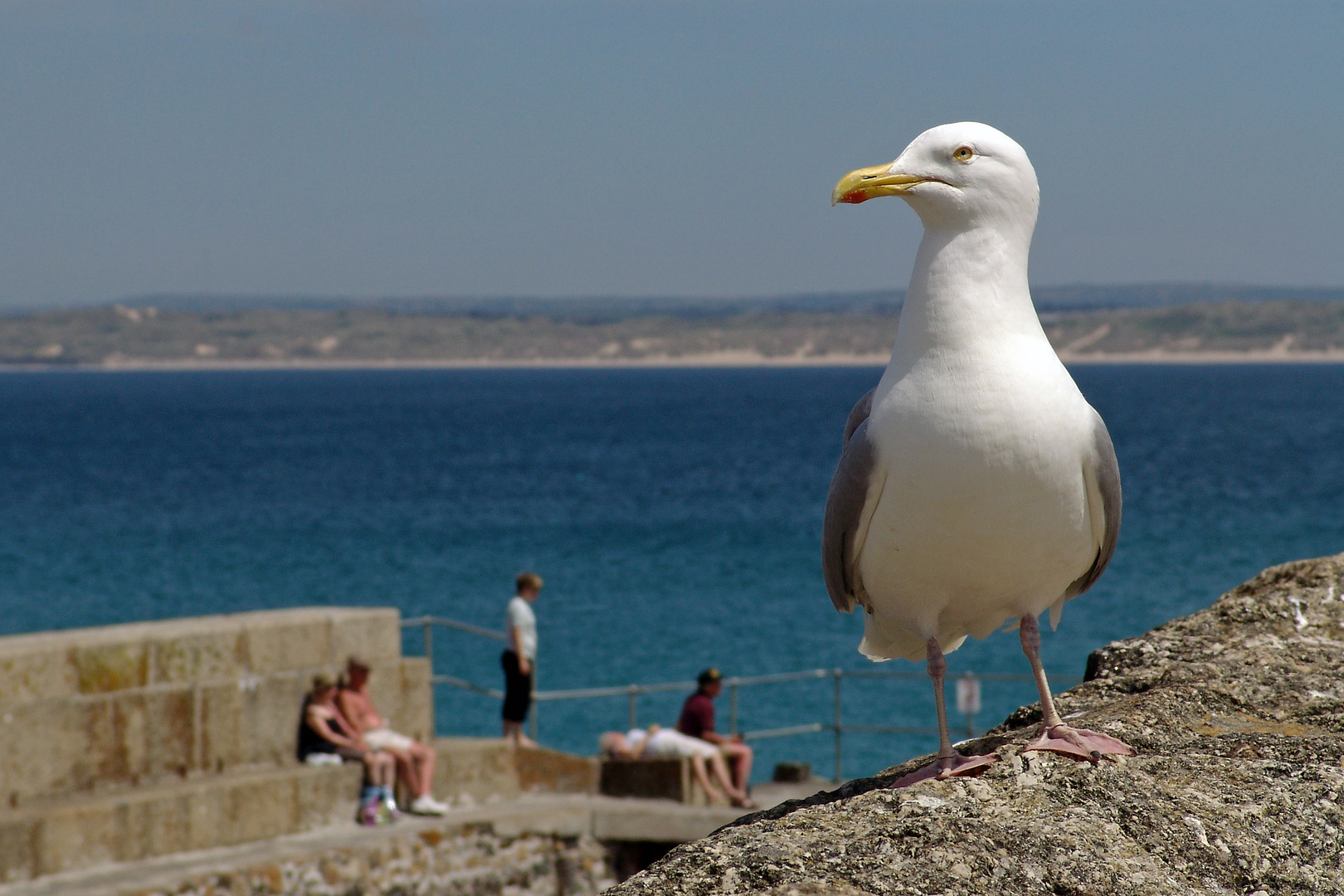 Seagull in St. Ives