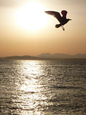 Seagull takes off in Seattle, WA..