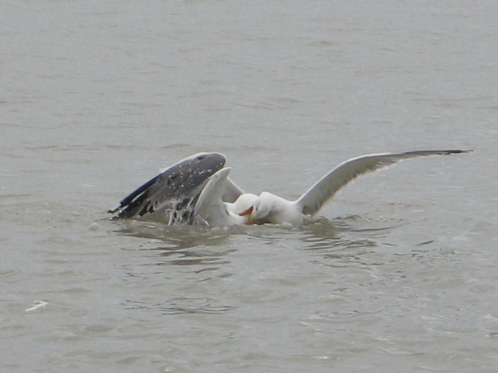 Seagulls in Combat